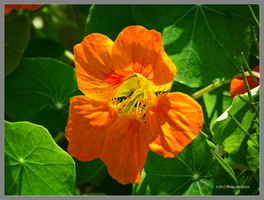 Nasturtium in orange by Mogrianne