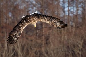 .:White Tailed Eagle II:. by RHCheng