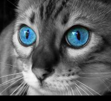 Cat with Blue Eyes by berne2006888