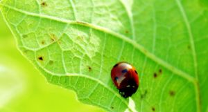 coccinelle... by petitenoix