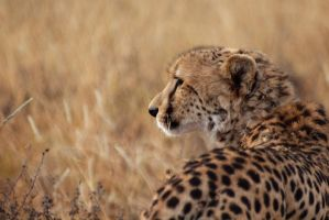 cheetah by psychostange