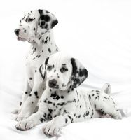 Baby Dalmatians by RodriguezVillegas