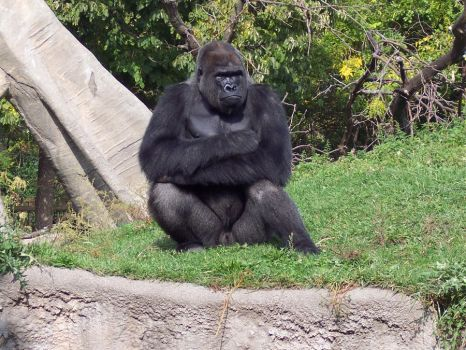 Gorilla -1- by Chaos--Stock