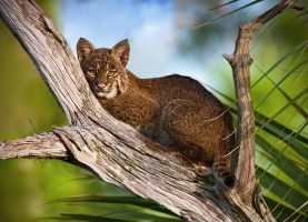 Southern Bobcat III by hey-man-nice-shot