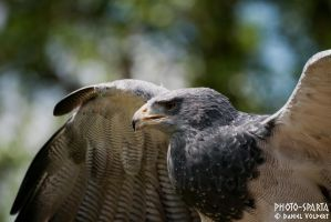 black-chested buzzard-eagle I by Daniel-Volpert