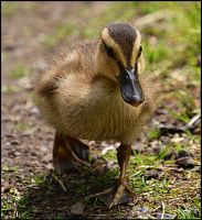 Little duck by FrankAndCarySTOCK