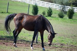 STOCK bay mare 3 by EquusPhoto