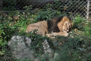 Laying Lion Stock by LuDa-Stock