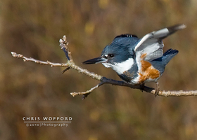 Belted Kingfisher Takeoff by w4graphics