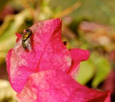 bouganvillia fly by stevecliff