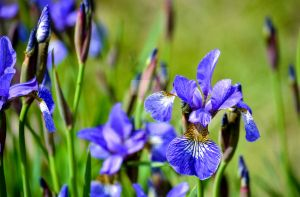Purple Flowers and Buds by Jessica-AuBuchon