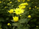 Yellow Chrysanthemum by ForeverRookie