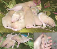 A handful of rats by Villainess-Vi