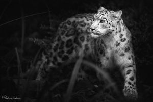 snow leopard by radicszoltan
