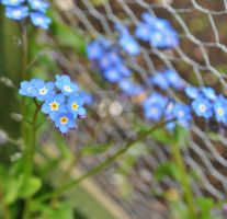 More Forget Me Nots by MaePhotography2010