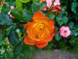 Orange yellow rose by obreshko