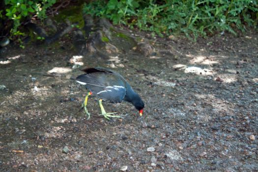 Moorhen by New-Dawn-Productions