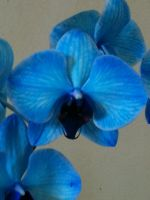 Blue Orchid by JoAnneVance