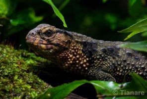Chinese crocodile lizard by Tianare
