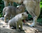 Arctic wolf pup: big YAWN by woxys