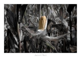 Corn Cob by AndreasResch