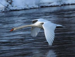 Dec 28 Swan 2 by Taliesin-Neonblack