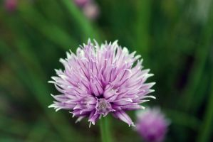 Chives I by FroZnShiva