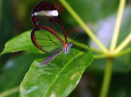 Transparent Butterfly by Avahlon-Stock
