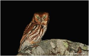 Eastern Screech Owl (Red Morph) by Ryser915