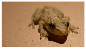 """Ranita """"little frog"""" by tomegatherion"""