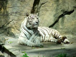 White Tiger by beautythroughalens