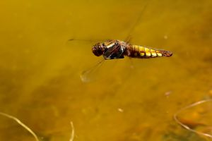 Female Broad-bodied Chaser frozen in mid flight by Robert-Eede