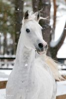 White stallion Kollizey 3 by Vikarus