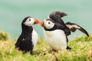 Puffins. by llemonthyme