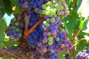 Sonoma Co. Wine Harvest 3 by smfoley