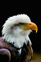 BALD EAGLE by mickr