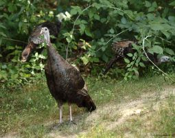 Lunchtime Turkey's 2 by natureguy