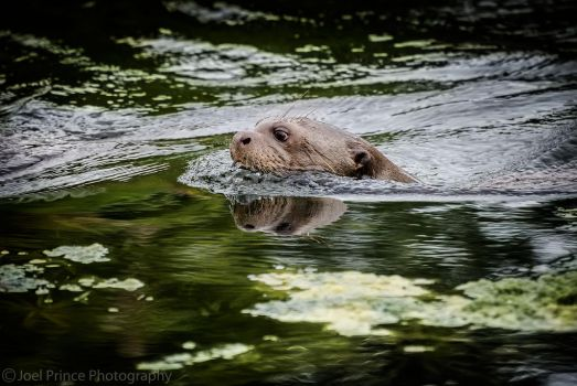 Giant Otter 131-10-13 by Prince-Photography
