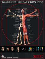 Human Anatomy - Muscular and Skeletal System Poste by SimonGangl