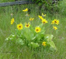 Arrowleaf Balsamroot by lupagreenwolf