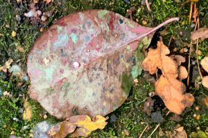 All The Colours Of Autumn On One Leaf by aegiandyad