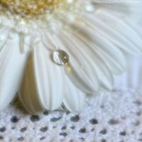 White gerbera with water drop by FrancescaDelfino