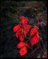 Red leaves in the red evening by Yancis