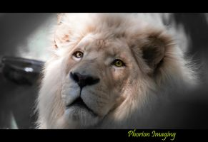 White Lion by PhorionImaging