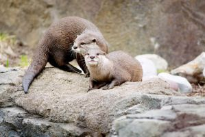 Two Asian Otters by Art-Photo