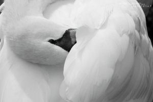 white swan by TheMagicMoment