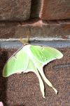 Luna Moth by QueenScarlet