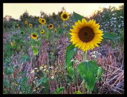 Sunflower by photonFUEL
