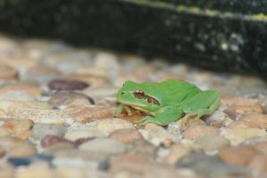 une grenouille by PinkPolo