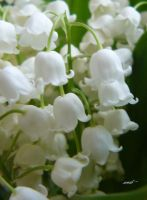 lily of the valley by andi40